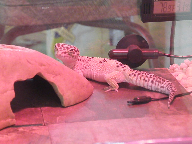 Tippers the Leopard Gecko